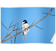 Black-capped Chickadee March 24th, 2011 Poster