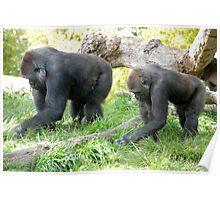 Gorillas - San Diego Zoo - California Poster