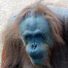 Orangutan - San Diego Zoo - California by Phil Roberson