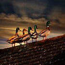 Rooftop Ducks by ajgosling