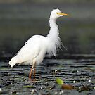 Intermediate Egret - Cooroy by Simon Bennett