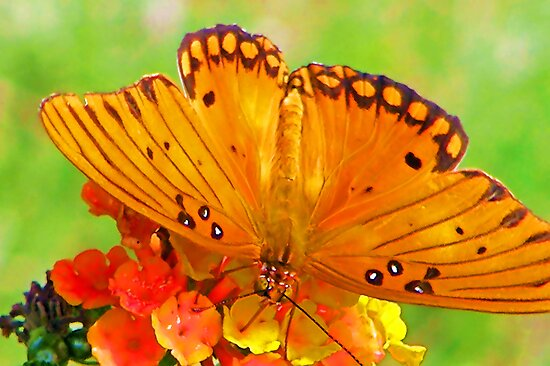 Gulf Fritillary by JohnDSmith