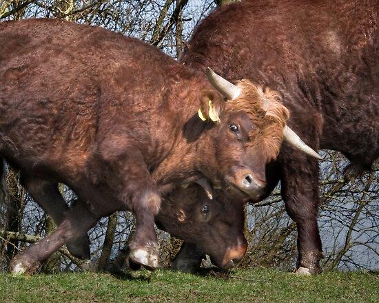 Bulls by Henri Ton