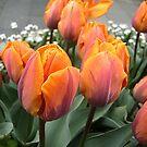 Arrived tulips by Ana Belaj