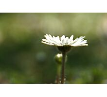 Lonely Daisy Photographic Print