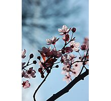 Cherry II Photographic Print