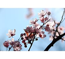Cherry III Photographic Print