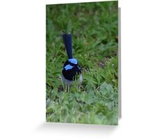 Blue Wren on the grass Greeting Card
