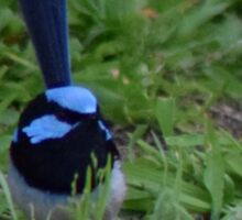 Blue Wren on the grass Sticker