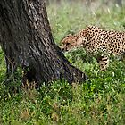 Cheetah in Tanzania, Africa 2 by Raymond J Barlow