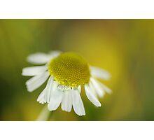Chamomile Photographic Print
