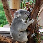 Koala in tree - San Diego Zoo - California by Phil Roberson