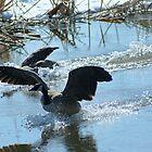 Splash Landing! by Robin Clifton