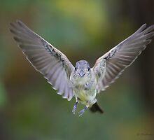 Eastern Phoebe in flight by PixlPixi