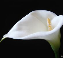 Elegant Calla Lily Flowers 11 by Christopher Johnson