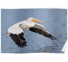 American White Pelican. Poster