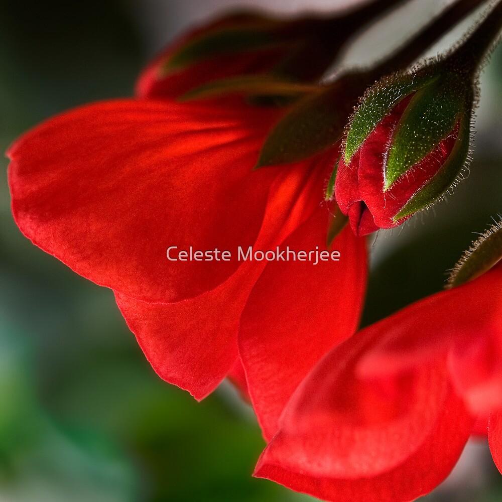 New geraniums by Celeste Mookherjee