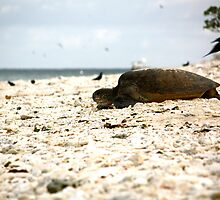 Female Green Turtle Returning to the Water - Lady Elliot Island  by AmyLee2694