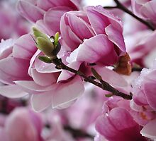 Magnolia Budding by qarrie