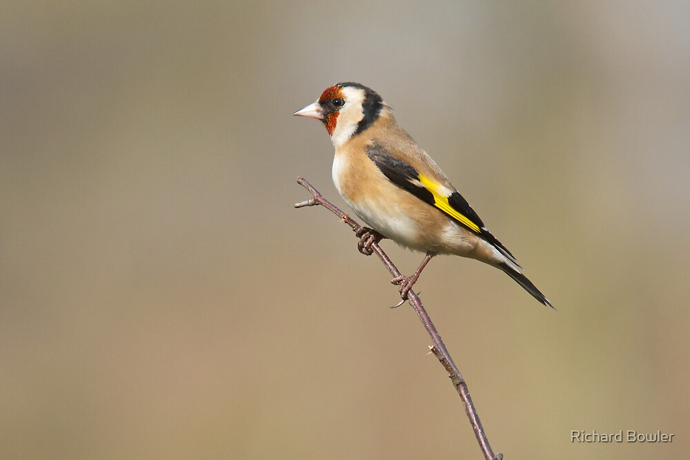 Goldfinch 1 by Richard Bowler