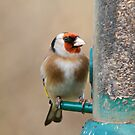 Goldfinch 2 by Richard Bowler