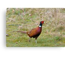 Pheasant 3 Canvas Print