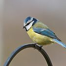 Blue tit 3 by Richard Bowler