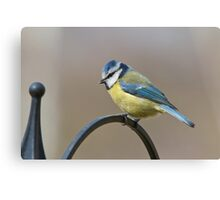 Blue tit 3 Canvas Print
