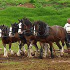 Clydesdale Team, Farm World, Warragul by Bev Pascoe