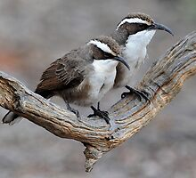 White Browed Babbler - Arid Lands - Port Augusta by Alwyn Simple