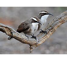 White Browed Babbler - Arid Lands - Port Augusta Photographic Print