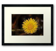 Spring's first little suns  Framed Print