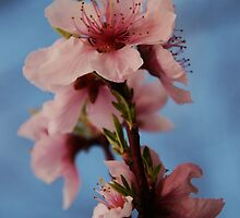 Peach Blossoms by Betty Maxey
