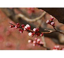 apricot garden Photographic Print