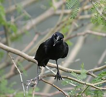 Male Grackle by jward731