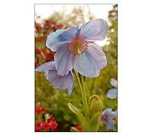 Himalayan Blue Poppy Photographic Print