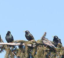 A Starling Convention by DigitallyStill