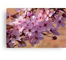 Acer Blossoms Canvas Print