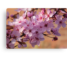 Acer Blossoms Canvas Print