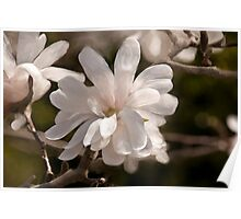 Star Magnolia Digital Painting Poster