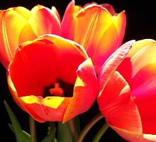 RED TULIPS. by Vitta