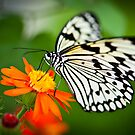 Butterfly 5 by Jacinthe Brault