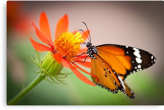 Butterfly 6 by Jacinthe Brault
