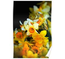 Narcissi Poster