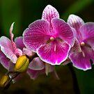 Orchid Magic by Teresa Zieba