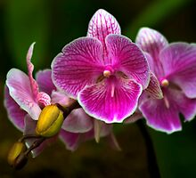 Orchid Magic by Teresa Zieba