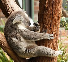 A Studious Koala Bear by Robert Kelch, M.D.