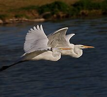 Great White Egrets by Marvin Collins