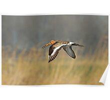 Godwit In Flight Poster