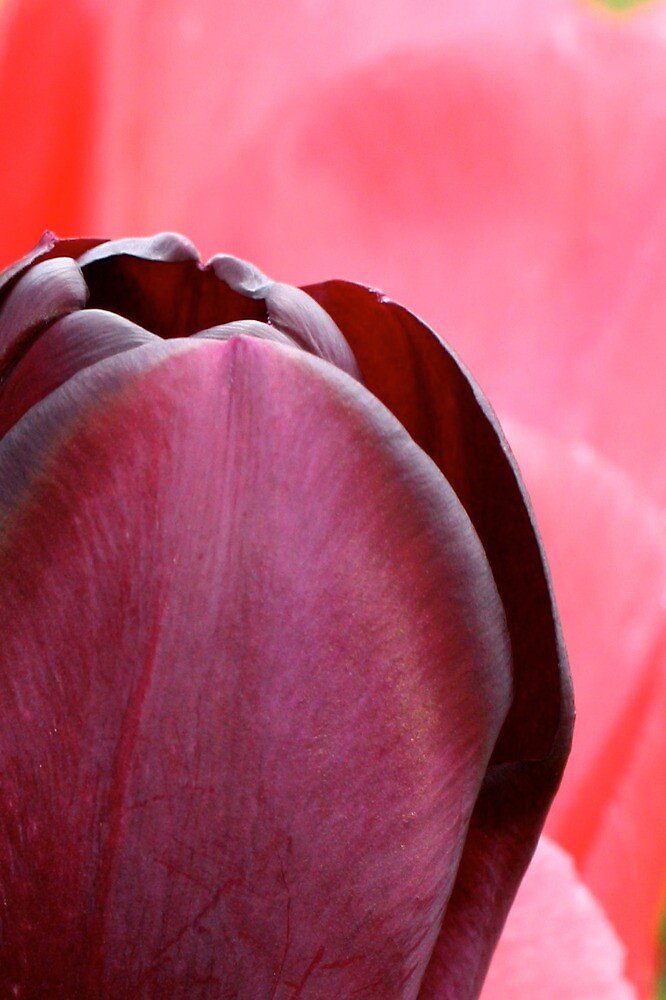purple and pink tulips by heatherbyrne